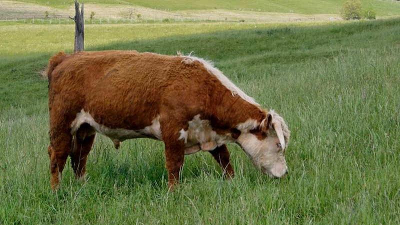 burkes-beef01